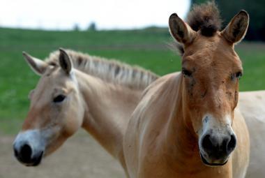 Bitva o koně Převalského: Čeští experti navzdory výzkumům věří, že jde o divoké zvíře