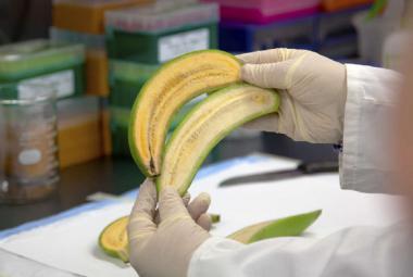 Týden ve vědě: Od zachráněných banánů po první digitální pilulku