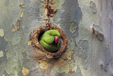 Nizozemsko zaplavili vřískající papoušci. Lidé zvažují stěhování, ptáci prý narušili i jednání poslanců