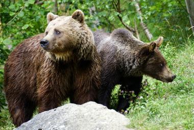 Švédští medvědi se přizpůsobili zákonům: Samice začaly využívat mláďata jako živé štíty