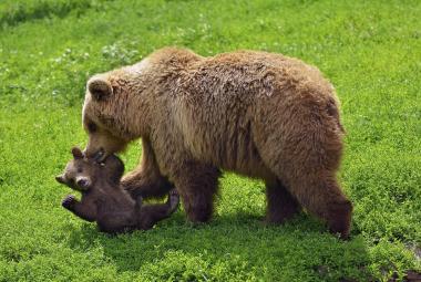 Medvěd hnědý evropský