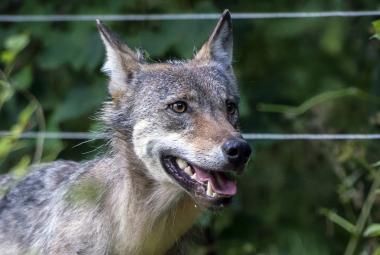 Vlci působí čím dál větší potíže, tvrdí myslivci. Ochránci přírody naopak připravují plán péče