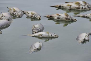 Uhynulé ryby v rybníku Nesyt