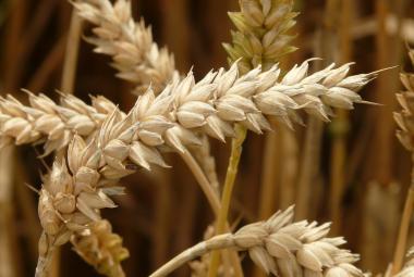 Sucho ohrozí až 60 procent ploch, kde se pěstuje pšenice. Některé změny se už nedají odvrátit, varuje výzkum