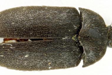 V Moravské Amazonii vědci našli nový druh brouka. Je to kožojed