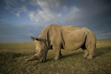 Na planetě už žijí jen dvě samice. Nyní vědci získali embrya nosorožců severních bílých