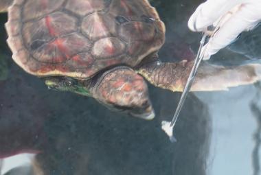 V Řecku rehabilitují se zraněnými želvami. Většinu z nich lidé zmrzačí záměrně