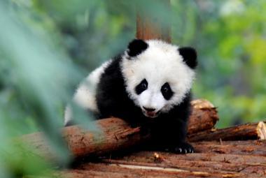 Čína chce vystěhovat 200 tisíc lidí a vytvořit domov pandám velkým