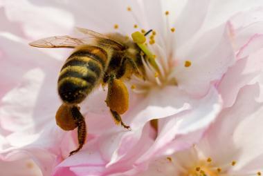 Úbytek včel? Pesticidy hlavním viníkem