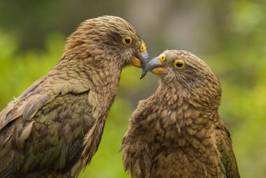 Novozélandští papoušci využívají při rozhodování teorii pravděpodobnosti, stejně jako lidé