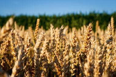Na česká pole pršel glyfosát ve velkém. Ministr zemědělství to zatrhl