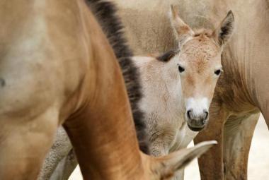 V Praze se narodila prapravnučka posledního divokého koně