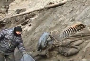 Na Sibiři našli zachovalé ostatky mamuta