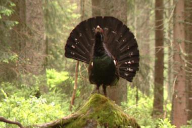 Ptákem roku 2012 je tetřev hlušec, hrozí mu vyhynutí