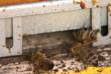 Evropská komise se bije za včely: Zakáže pesticidy