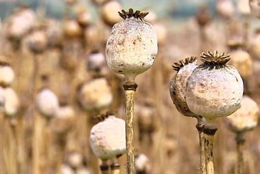 Sucho, přeháňky, sucho. Proměnlivost letošního počasí dopadá i na sklizeň máku