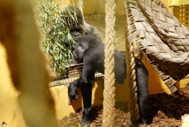 Gorila Moja se seznámila s novou rodinou, zatím jen přes sklo