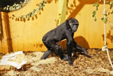 Moja - gorilí superstar pražské zoo