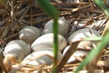 Proč jsou ptačí vejce různě zbarvená? Tmavší odstíny podle vědců lépe drží teplo