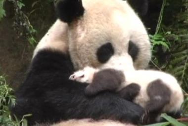 V Číně vznikne rezervace pro pandy za 1,5 miliardy dolarů. Má spasit ohrožený symbol země