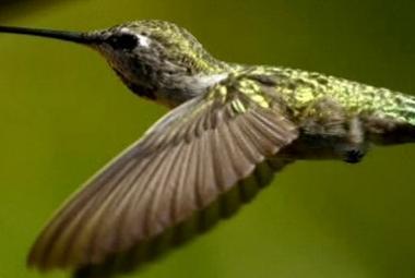 Kolibříci vzorem pro letadla. Umí nemožné!