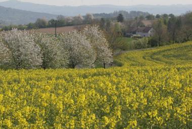 Řepka letos pokryla menší plochu než dříve. Zemědělci se dál přou s ekology o jejích (ne)výhodách