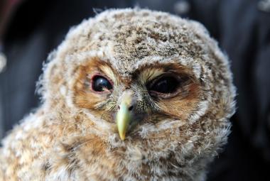 Ornitologové nesýčkují. Sýčků v Česku opravdu ubývá