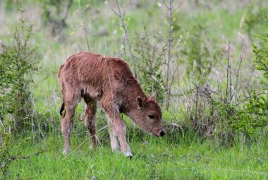 V Milovicích se narodilo mládě pratura – prapředka dnešních krav