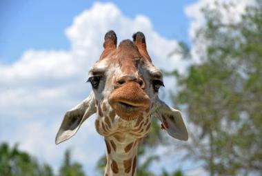 Smutná zpráva pro přírodu: Žirafy jsou poprvé na seznamu kriticky ohrožených druhů