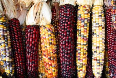 Čím více geneticky modifikovaných plodin, tím víc je třeba herbicidů, zaskočilo vědce