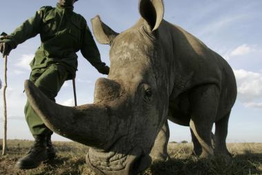 Upytlačených nosorožců vloni ubylo. Možná je to tím, že už není co ulovit