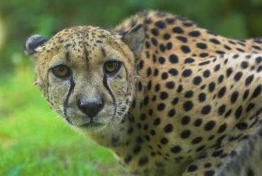 Gepardi zmizeli z 91 procent území. Míří k rychlému vyhynutí