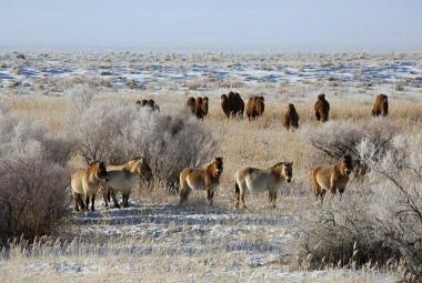 Poušť Gobi koňům Převalského svědčí. Na jaře budou mít další mláďata
