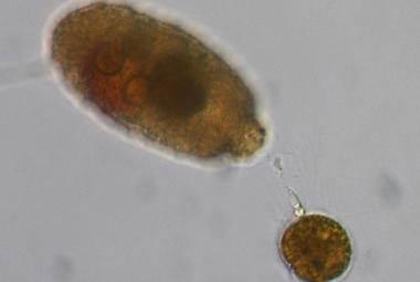 Miniaturní obrněnky loví kořist harpunami i biologickým rotačním kulometem