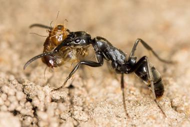 Afričtí mravenci se starají o své válečné invalidy. Odnesou je z fronty a doma jim ošetří rány