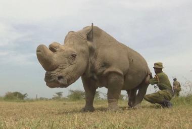 V Keni uhynul poslední samec nosorožce severního bílého, žijí už jen dvě samice