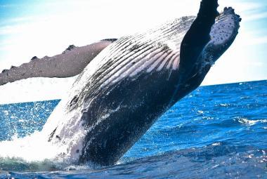 Lov velryb je zakázaný už 30 let. Japonsko si našlo cestu, jak to obejít