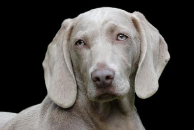 Psi umí odhalit rakovinu. Nový výzkum popsal, jak jsou úspěšní