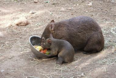 Vombat obecný s mládětem