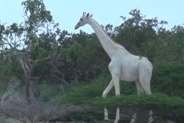 V Keni nafilmovali dvě zcela bílé žirafy. Nejsou to albíni