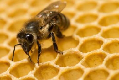 Američtí vědci geneticky upravili bakterie, aby ochránili včely před morem