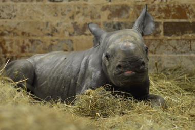 Ve Dvoře Králové se narodilo mládě nosorožce. Vzácná samička rozšíří světový chov