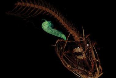 Vědci objevili nejhlouběji žijící rybu. Predátor loví v temnotě, osm kilometrů pod hladinou