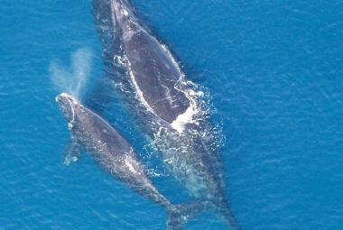 """Vyhynutí """"pravých"""" velryb? Musíme s tím scénářem počítat, varuje Úřad pro oceán a atmosféru"""