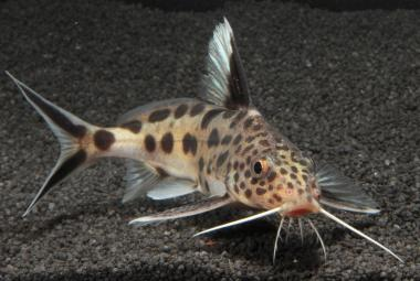 Cichlidy se naučily, jak přemoci mazanou rybí kukačku, ukázal výzkum českých biologů