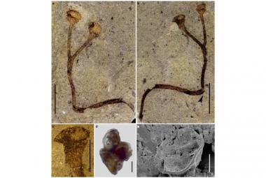 Národní muzeum 150 let netušilo, že má nejstarší suchozemskou rostlinu na světě