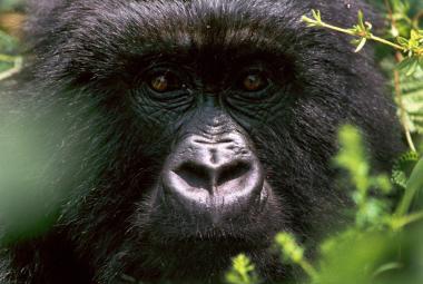 Proč umírají horské gorily? Podle vědců z Brna na nemoci způsobené parazity