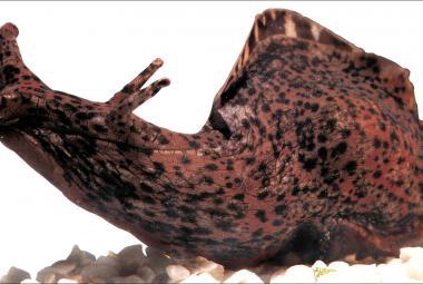 Vědci transplantovali mořskému šnekovi cizí vzpomínky. Stačila jen injekce