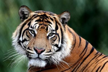 Nepálu se nebývale daří zachraňovat své tygry. Pomohly technologie