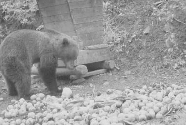 Medvěd na Valašsko přišel kvůli bohaté úrodě jablek